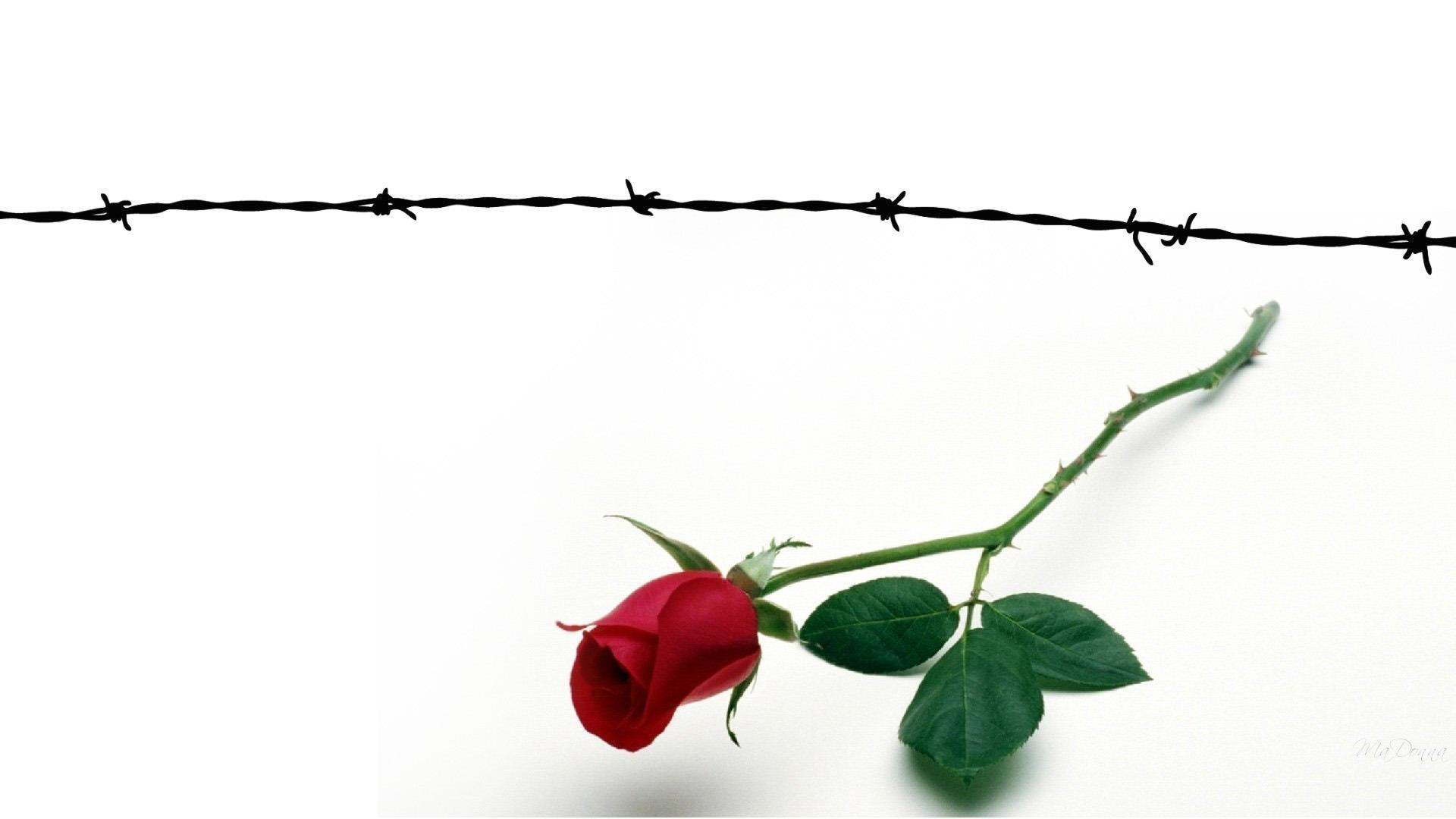 Роза за колючей проволокой фото тату