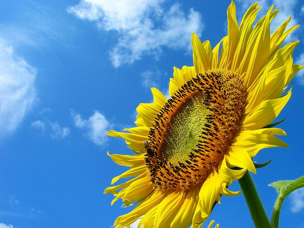 نتیجه تصویری برای آفتاب گردان